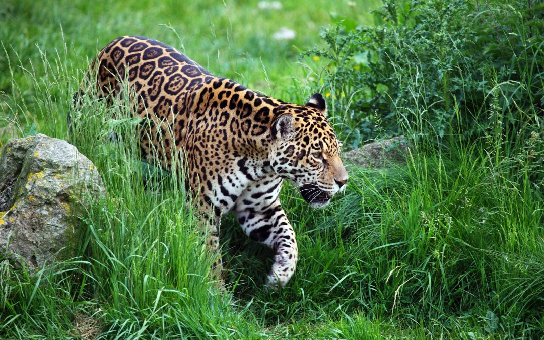 New project in French Guyana on Coexistence Man – big cats – April 2018