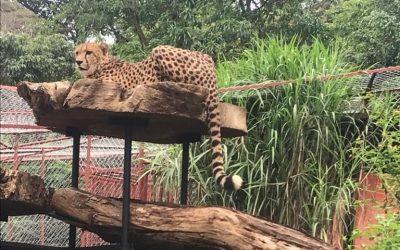 Sauvetage de Jack le guépard