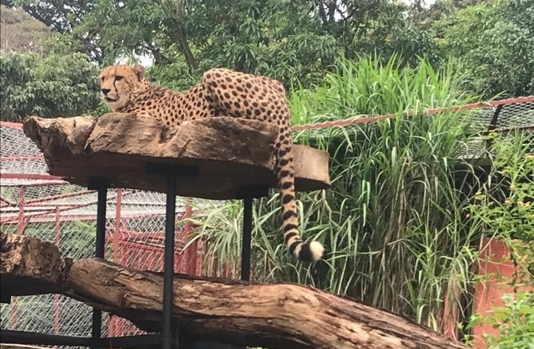 rescue of Jack, the cheetah !