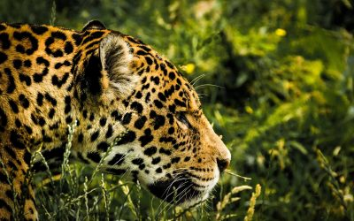 October 2018 – Launch of a new HISA project in Guyana on the coexistence between humans and big cats