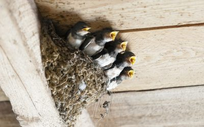 At the Bellefontaine castle in Gironde, there will be soon a new housing for barn swallows